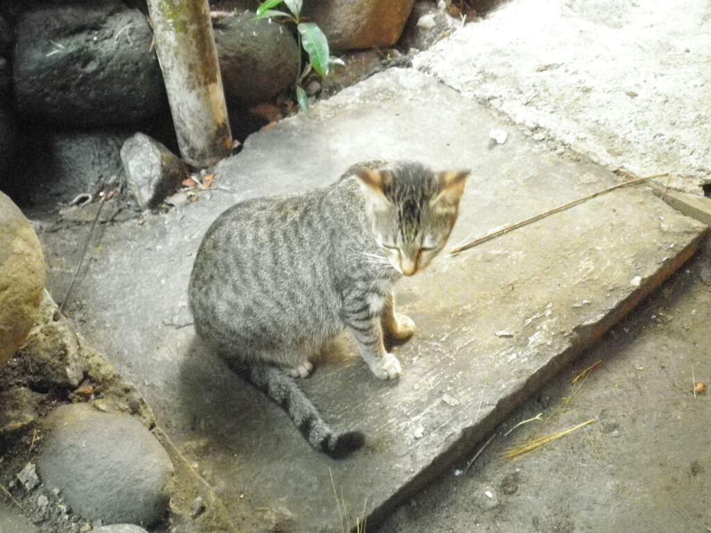 マンブカル ネコ
