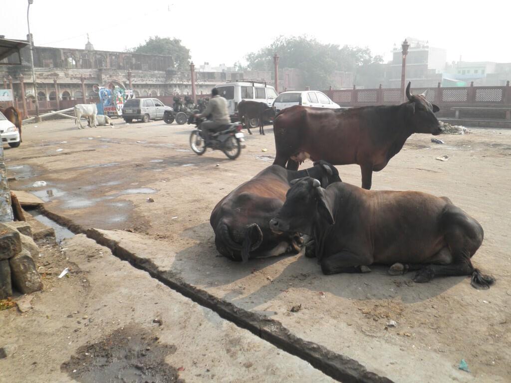 牛 道端 インド