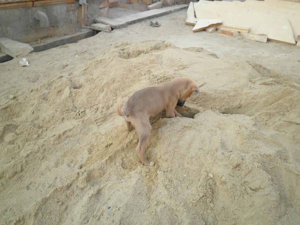 インド 子犬