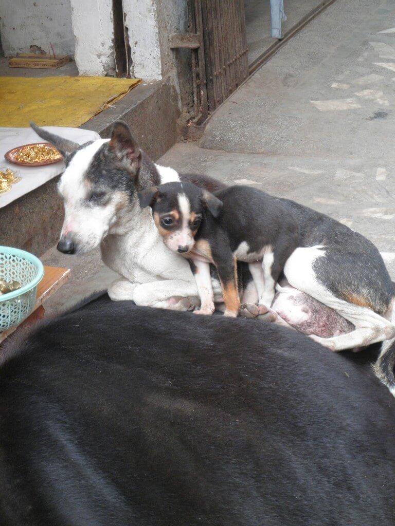 インド 牛 犬