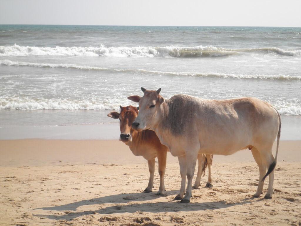 プリー うんこビーチ 牛