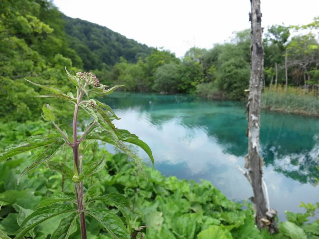 プリトヴィツェ湖群国立公園 自然保護区 沈んだ木 透き通るエメラルドグリーンの湖