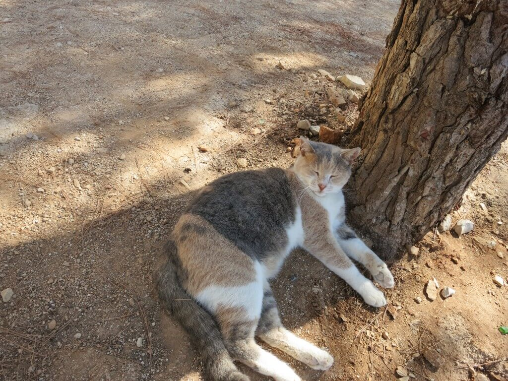 シベニク ネコ クロアチア