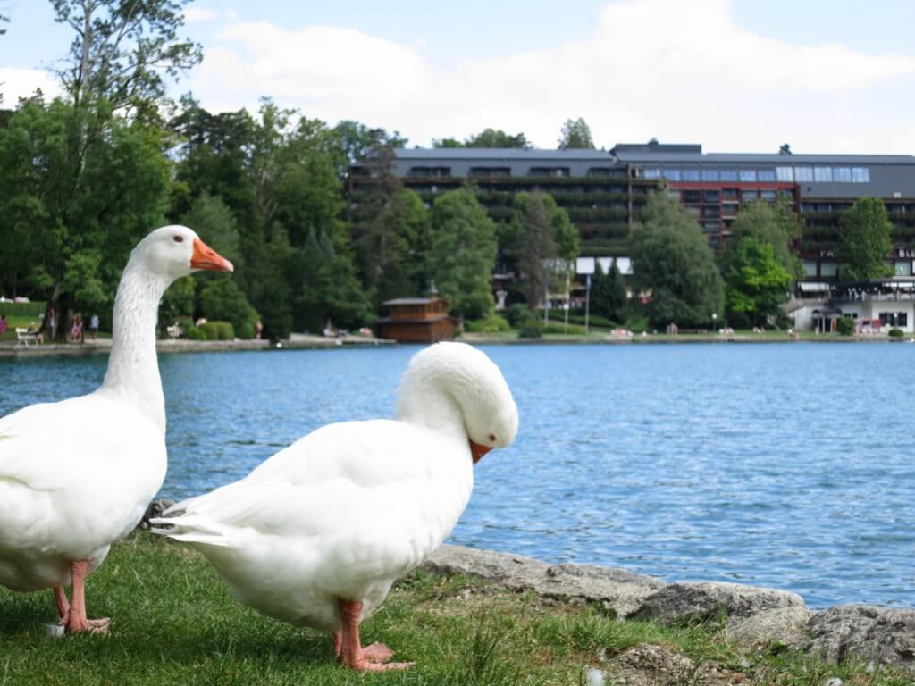 ブレッド湖 アヒル 白鳥 仲良し スロベニア