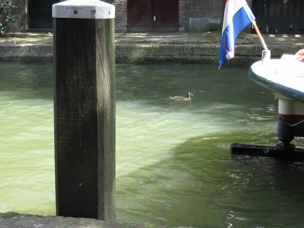 ユトレヒト 運河 カルガモ 癒し