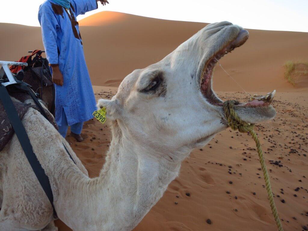 白いラクダ サハラ砂漠ツアー ブサイク
