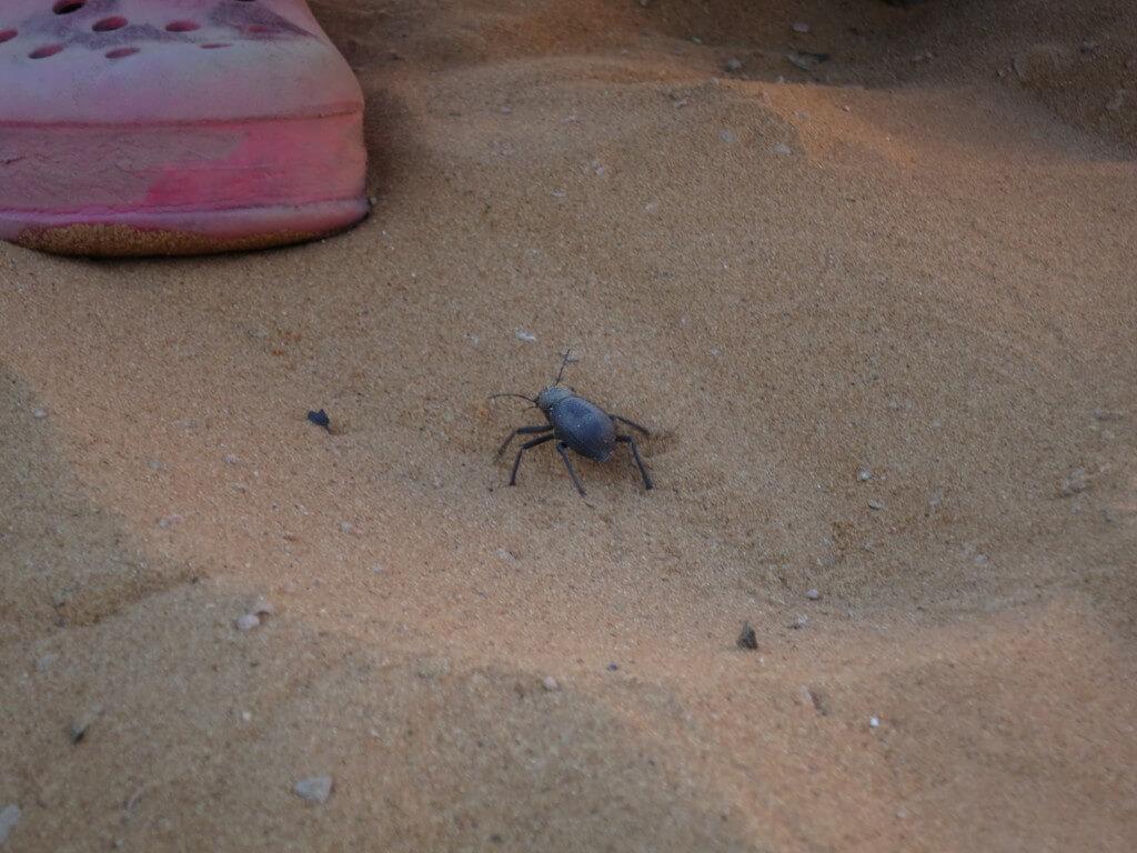 ふんころがし サハラ砂漠 メルズーガ モロッコ