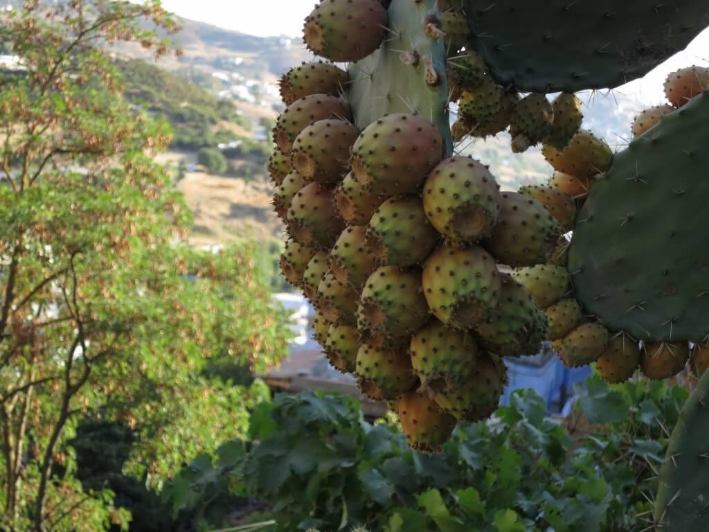 お土産 サボテン シャウエン ブルーシティー モロッコ