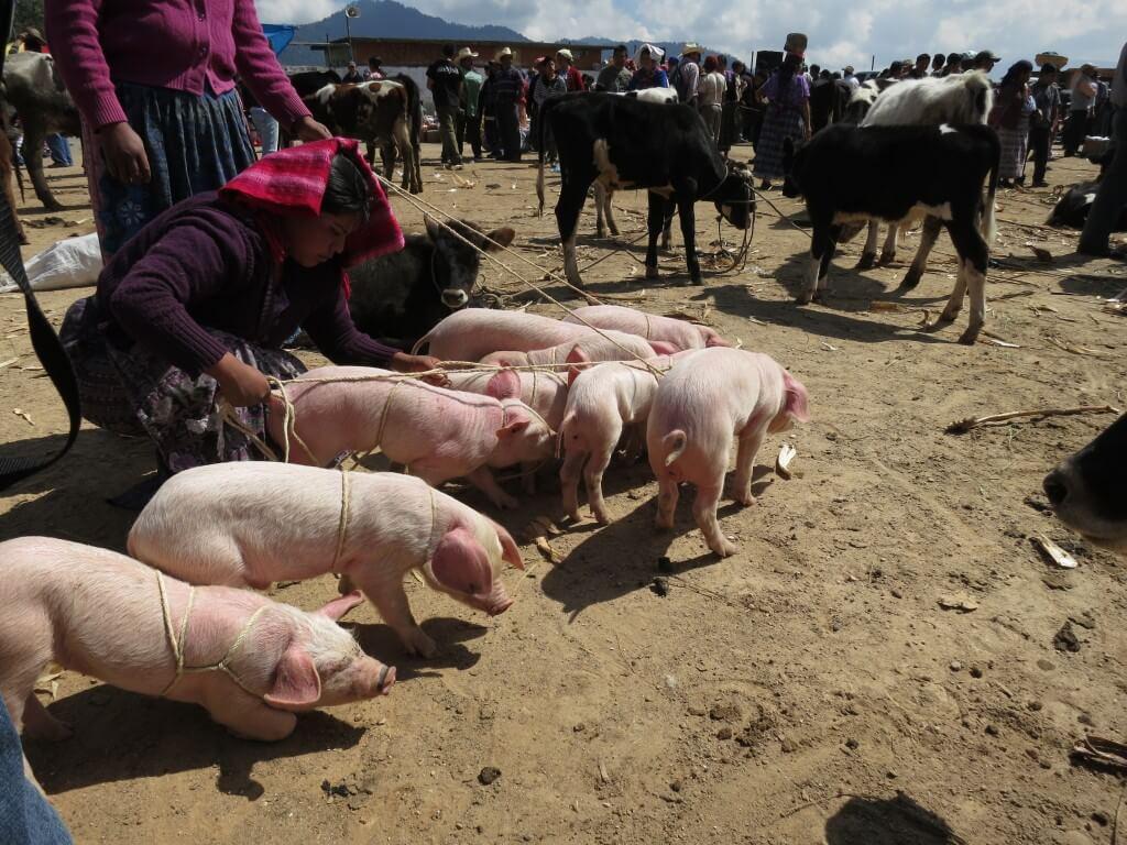 たぶん食料になる豚や牛