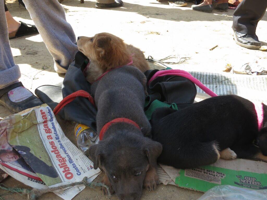 サン・フランシスコ村 メルカド 仔犬 グアテマラ