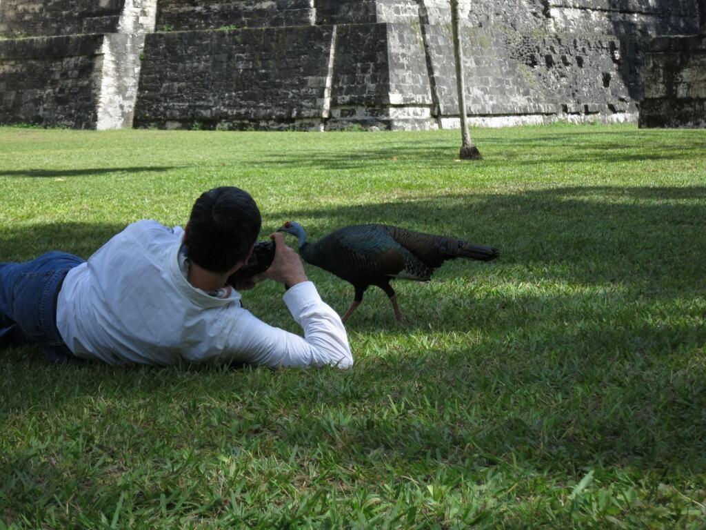 孔雀 人懐っこい ティカル遺跡 グアテマラ