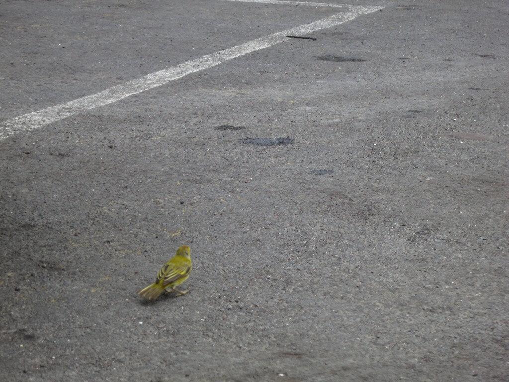 ガラパゴススズメ ガラパゴス諸島 エクアドル