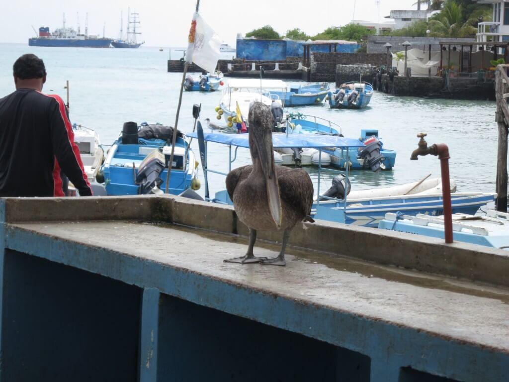 ガラパゴスペリカン 魚市場 プエルト・アヨラ サンタ・クルス島 ガラパゴス諸島