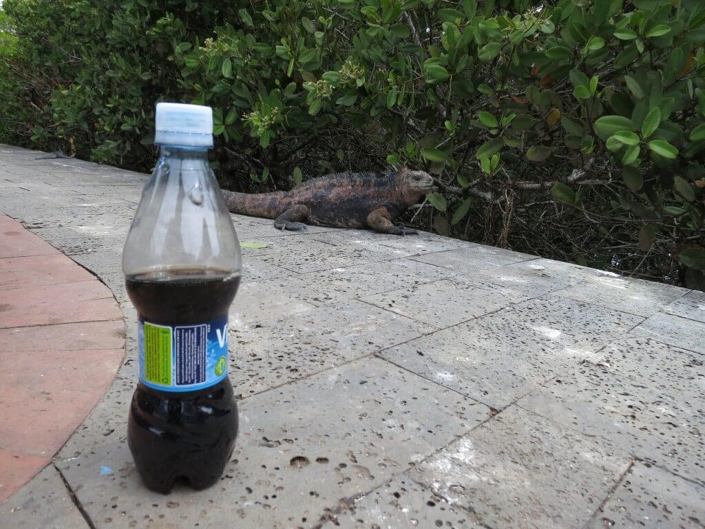 今日のコーラ ガラパゴスウミイグアナと