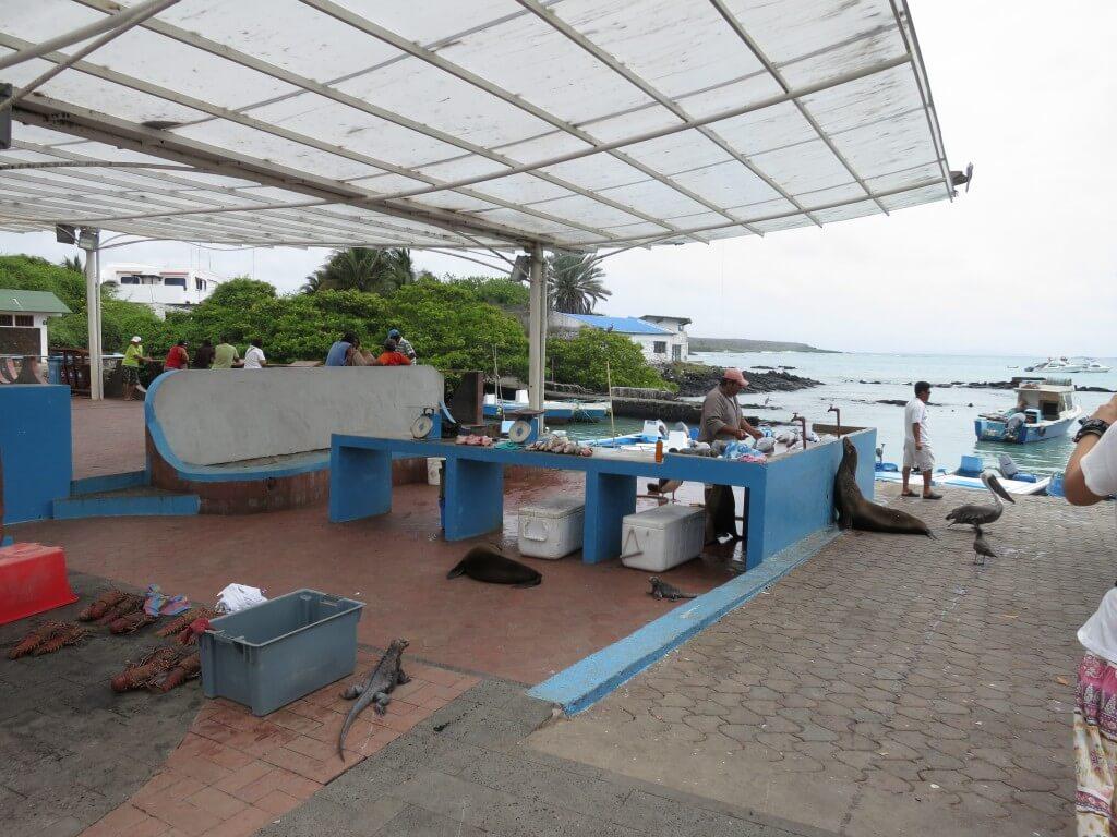 サンタ・クルス島のプエルト・アヨラの魚市場の買い物客は人間だけではない!アシカにカモメにペリカンも!?