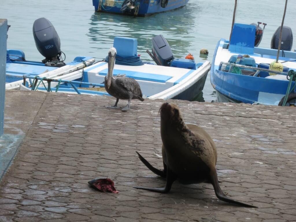 ガラパゴスアシカ 魚市場 プエルト・アヨラ サンタ・クルス島 ガラパゴス諸島