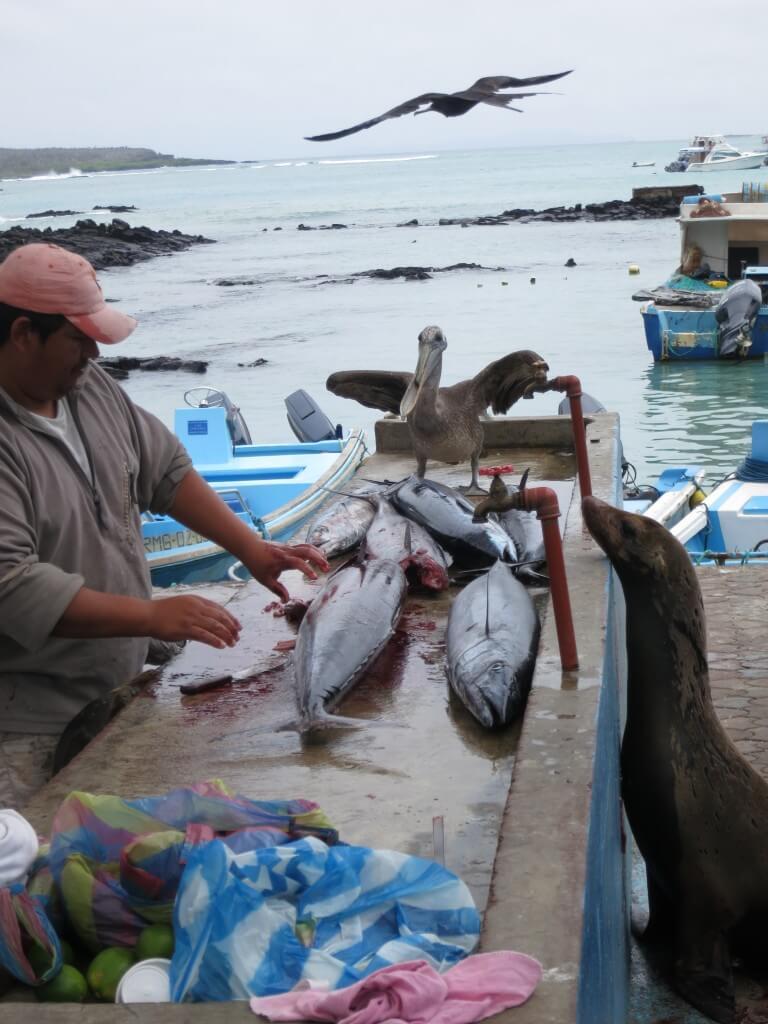プエルト・アヨラの魚市場の仁義なき戦い・・・。怒るとアシカがマジで怖い!