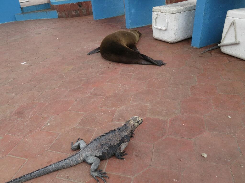ガラパゴスウミイグアナ 魚市場 プエルト・アヨラ サンタ・クルス島 ガラパゴス諸島