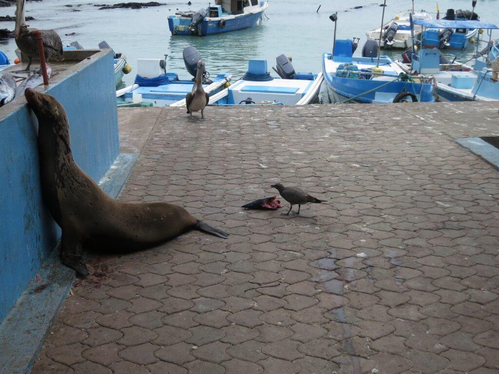 ガラパゴスカモメ 魚市場 プエルト・アヨラ サンタ・クルス島 ガラパゴス諸島