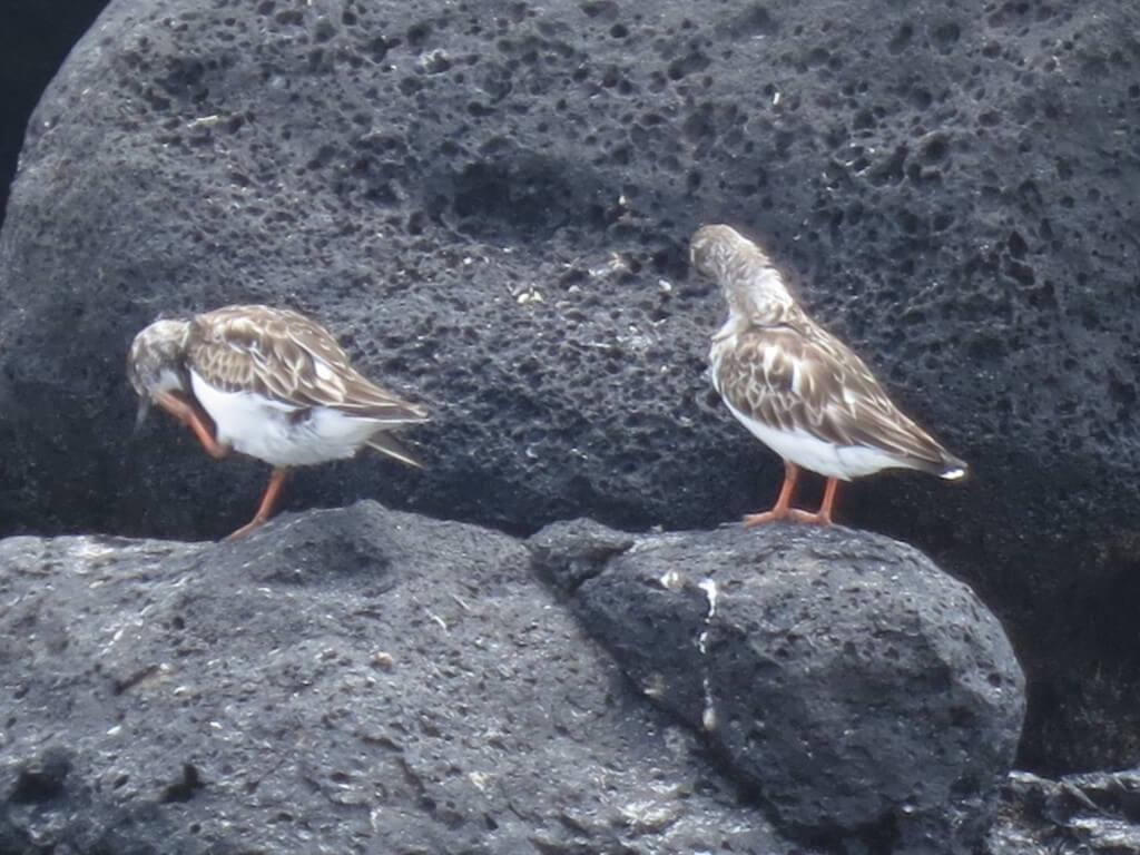 鳥 Galapagos Beach at Tortuga Bay(ガラパゴスビーチ トルトゥーガ・ベイ) プエルト・アヨラ サンタ・クルス島 ガラパゴス諸島