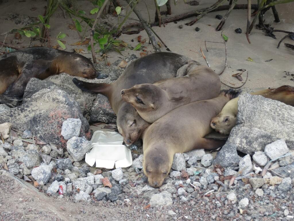 ガラパゴスアシカ イサベラ島 ガラパゴス諸島