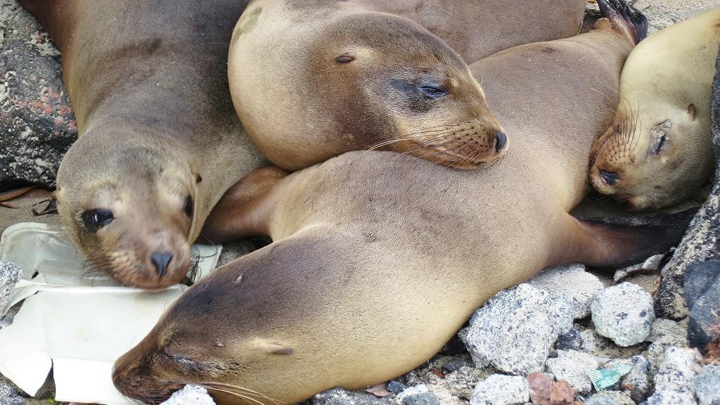ガラパゴス諸島のイサベラ島ではアシカと海ガメとシュノーケリングできるの?