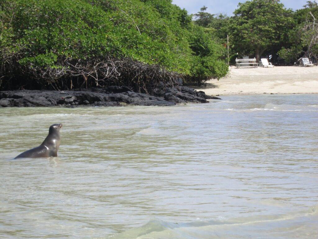イサベラ島の港のところのガラパゴスアシカはいろんな表情を見せてくれるよ♪