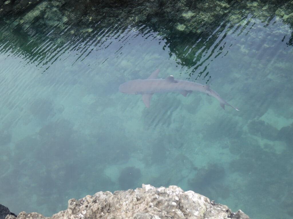 Las Tintorerasにはウミイグアナだけではないぞ!カメにサメもいる!?