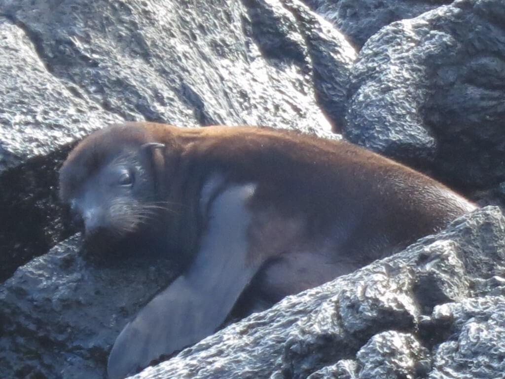 アシカの赤ちゃん Las Tintoreras イサベラ島 ガラパゴス諸島