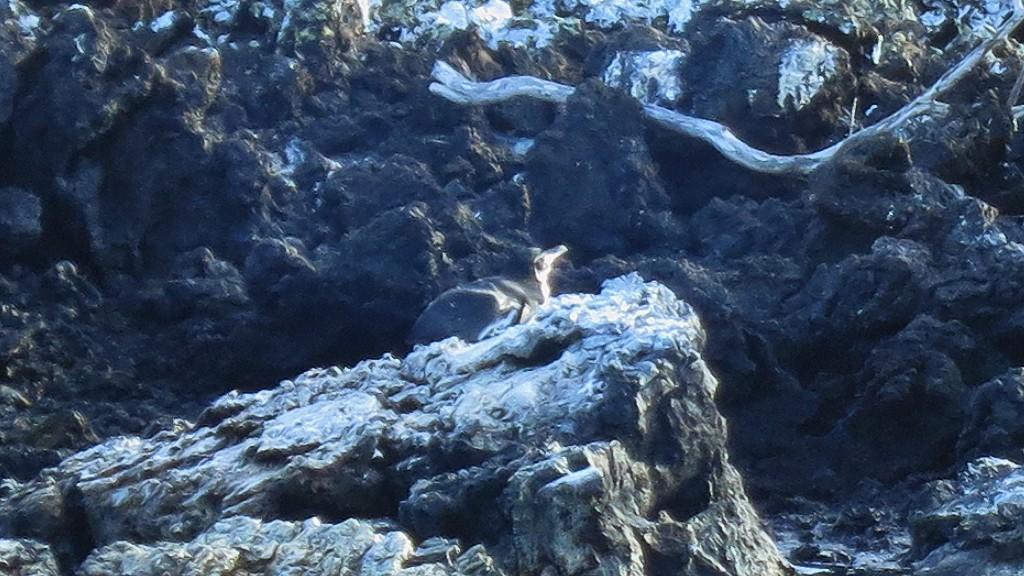 【お得情報】イサベラ島でペンギンが観れる?Las Tintorerasツアーとは?