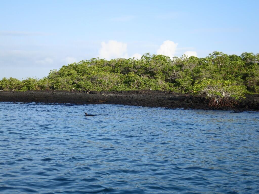 ペンギン Las Tintoreras イサベラ島 ガラパゴス諸島