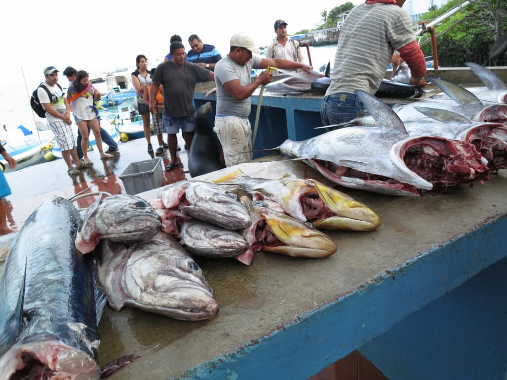 サンタ・クルス島 魚市場 マグロ ロブスター