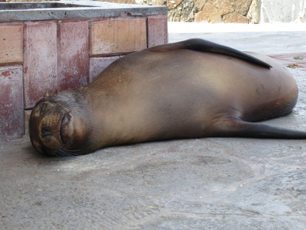 サン・クリストバル島のガラパゴスアシカはまるで人間!?いや酔っぱらいオヤジ!?