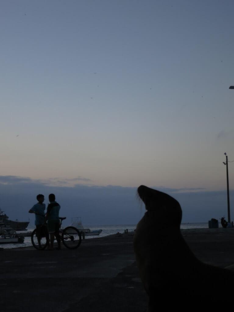 ガラパゴスアシカ 夕日 サン・クリストバル島 ガラパゴス諸島