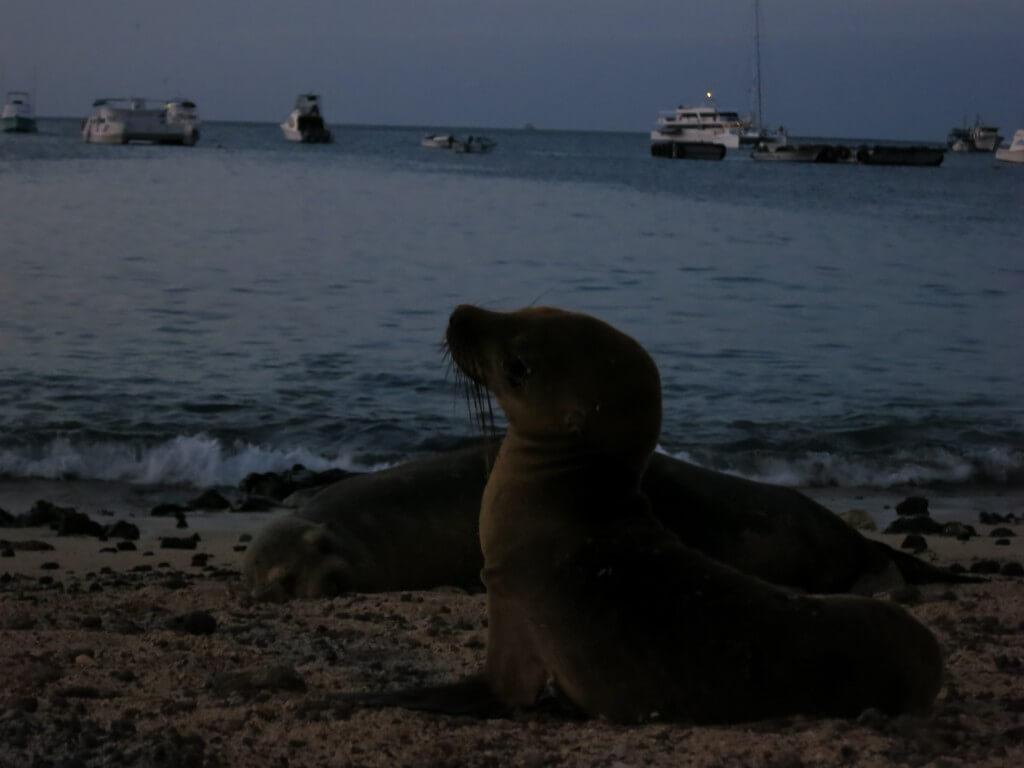 子供アシカ サン・クリストバル島 ガラパゴス諸島