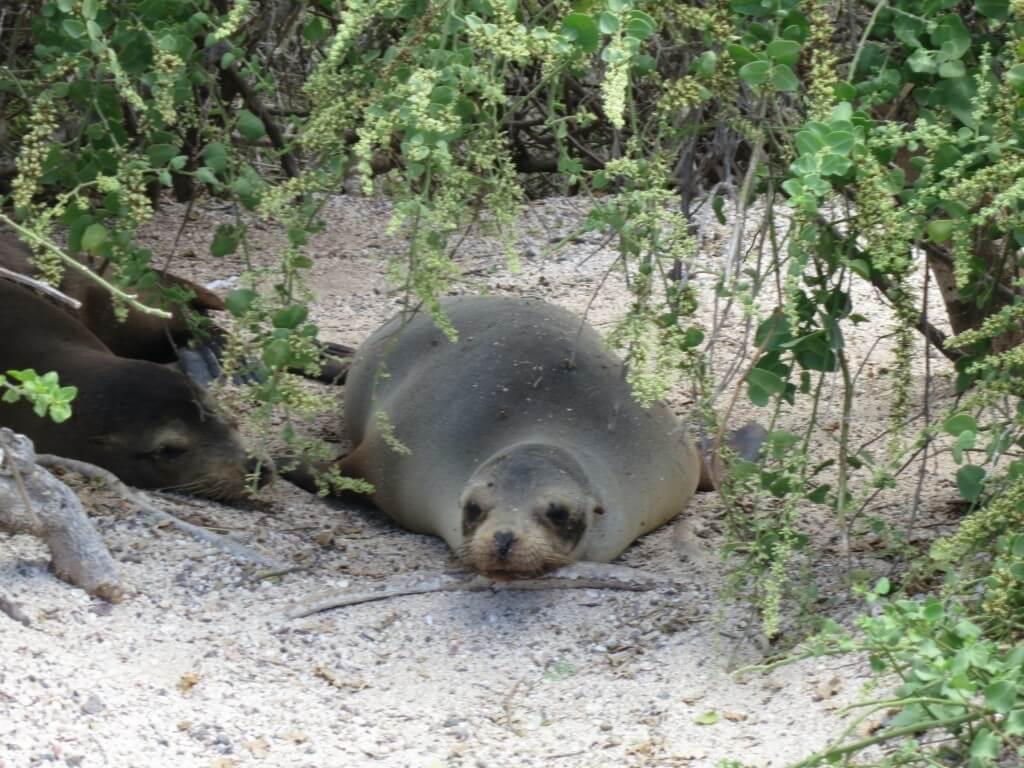 Playa Mann アシカ 危険 サン・クリストバル島 ガラパゴス諸島