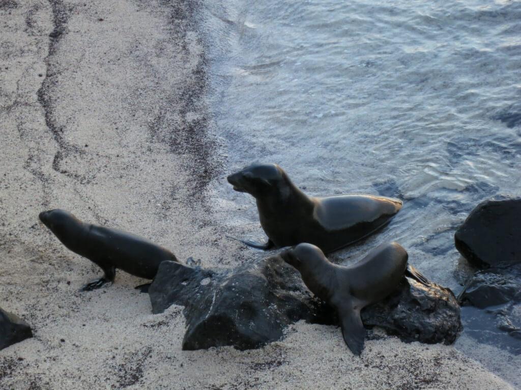 アシカ 子供 サン・クリストバル島 ガラパゴス諸島