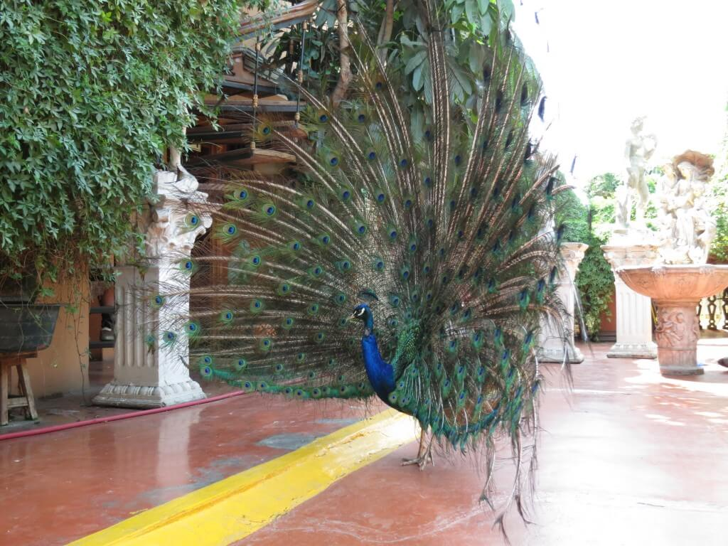 孔雀 Hotel Espana(ホテル エスパーニャ) リマ 美術館 動物園 彫刻 絵画 ペルー