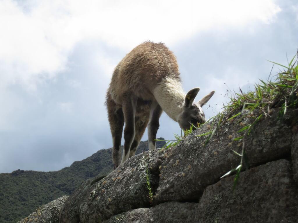 マチュピチュ遺跡の中にはリャマもそしてインカの技術の結晶がまだ残る!