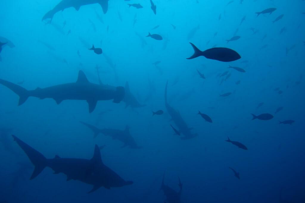 ガラパゴス諸島 ゴードンロック ダイビング ハンマーヘッドシャーク