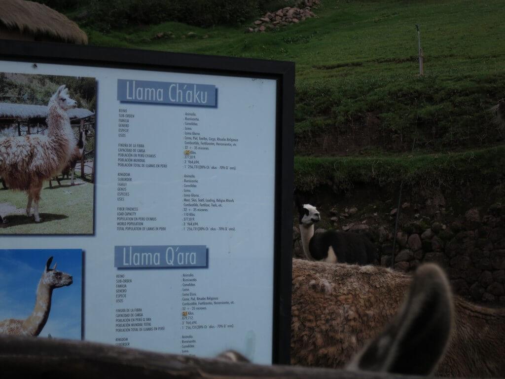 リャマ アルパカ牧場 クスコ ペルー