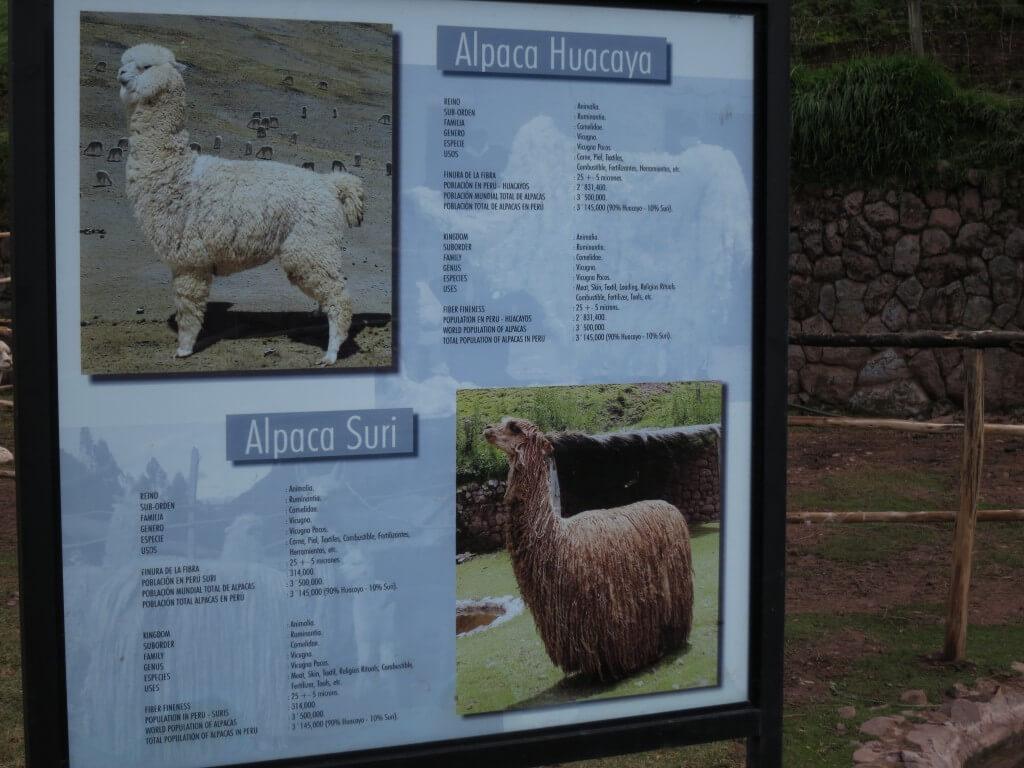 アルパカ牧場 アルパカ リャマ クスコ ペルー