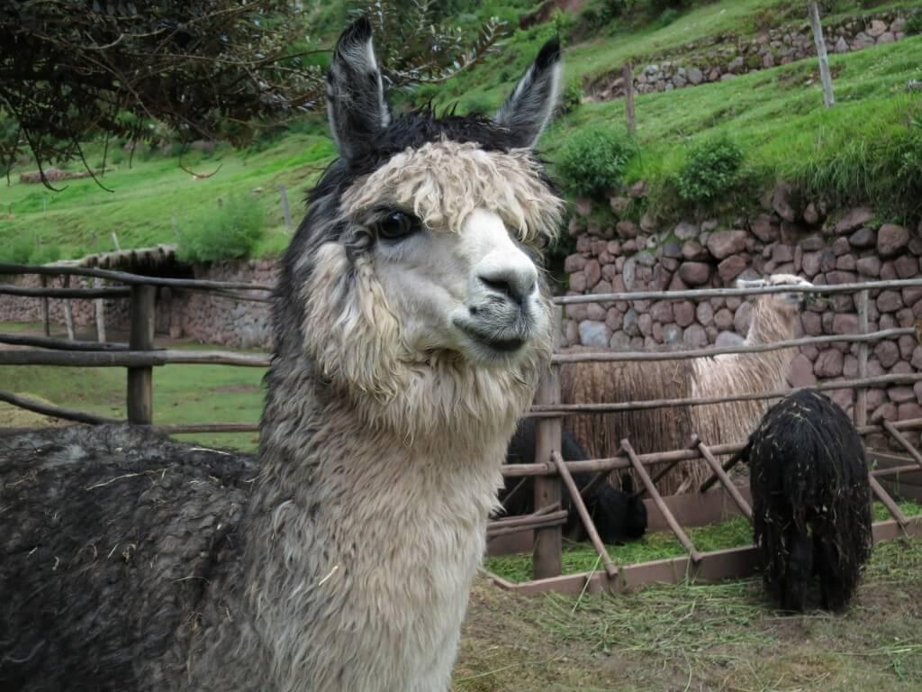Awana Kancha(アルパカ牧場)には高級毛のビクーニャがいるぞ!!