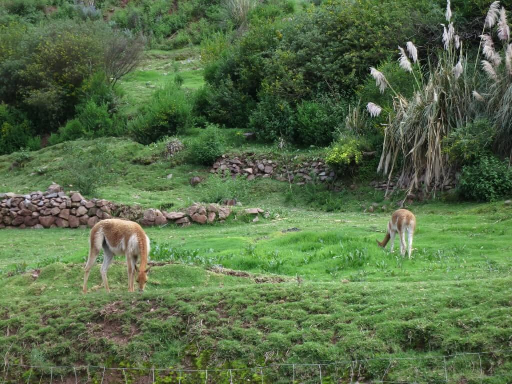 ビクーニャ アルパカ牧場 クスコ ペルー