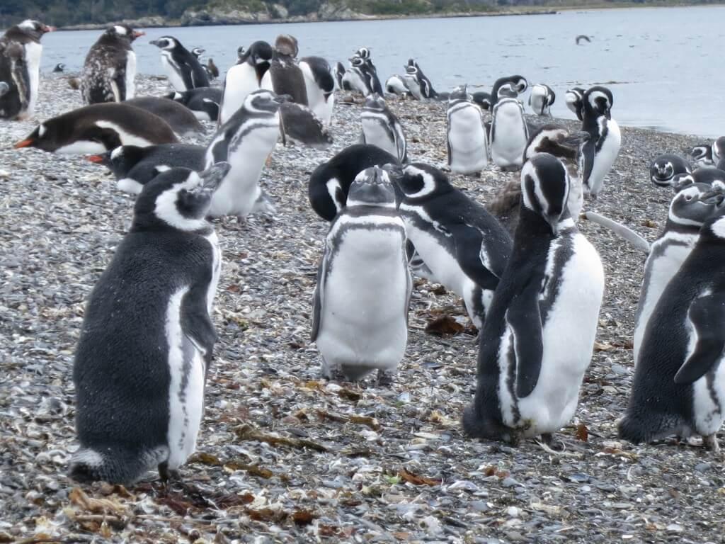 マゼランペンギン ペンギン島 PIRA TOUR ビーグル水道ツアー ペンギン ウシュアイア パタゴニア