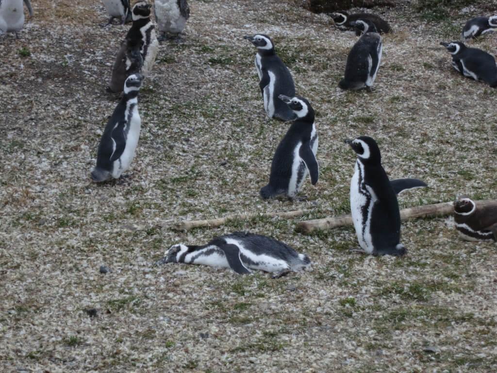 死んだペンギン パプアペンギン ペンギン島ツアー PIRA TOUR ビーグル水道ツアー ペンギン ウシュアイア パタゴニア