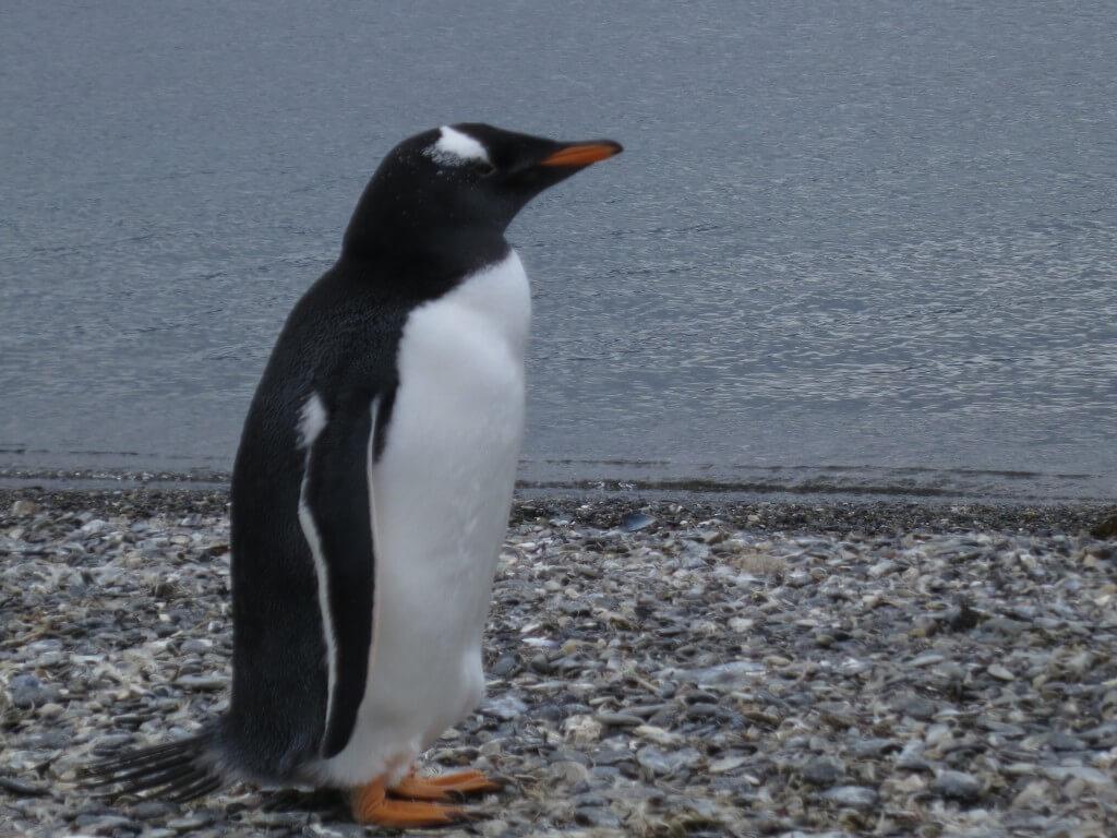 パプアペンギン ペンギン島ツアー PIRA TOUR ビーグル水道ツアー ペンギン ウシュアイア パタゴニア