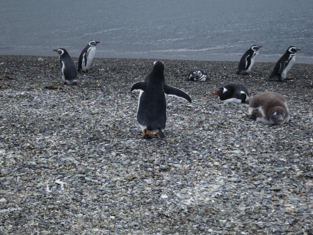 マゼランペンギン パプアペンギン ペンギン島ツアー PIRA TOUR ビーグル水道ツアー ペンギン ウシュアイア パタゴニア