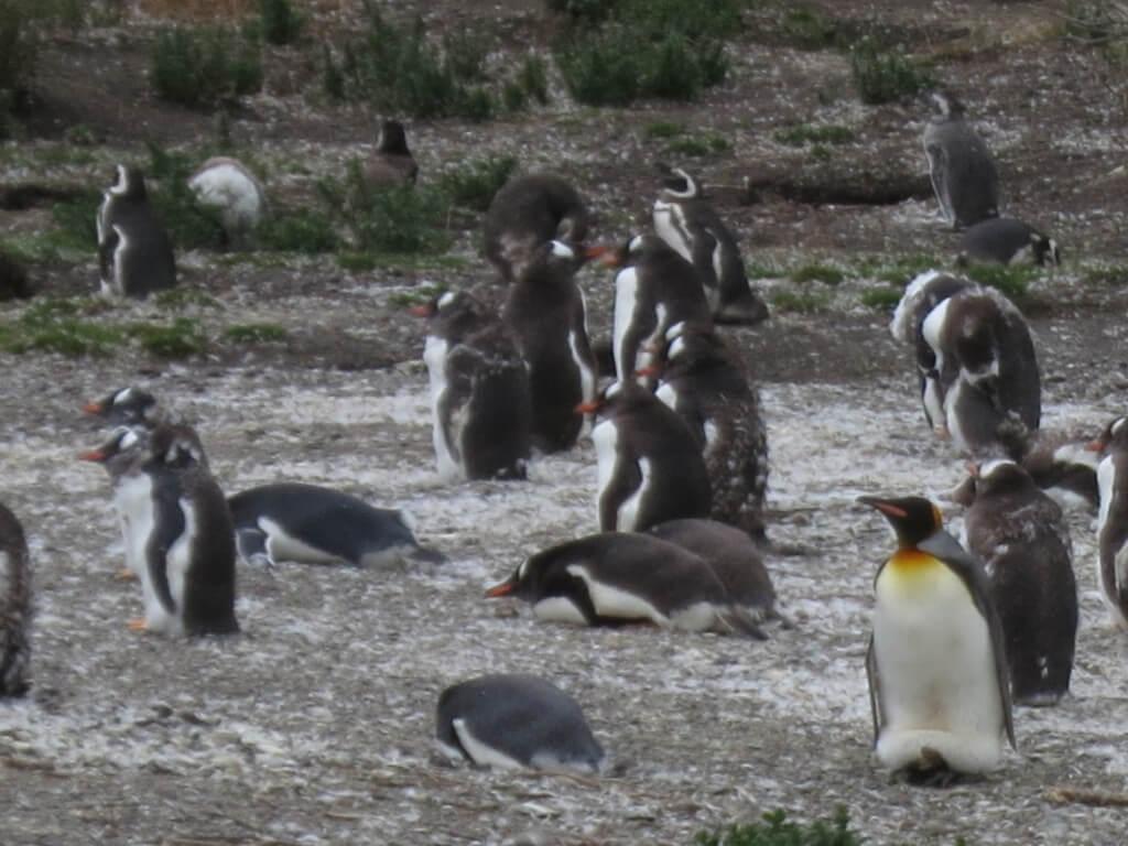 ペンギン島に現れた迷子のペンギン?レアなキングペンギン登場!