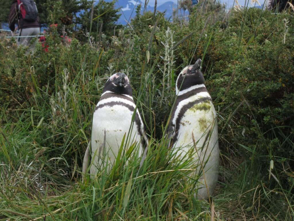 ツインズペンギン マゼランペンギン ペンギン島 PIRA TOUR ビーグル水道ツアー ペンギン ウシュアイア パタゴニア